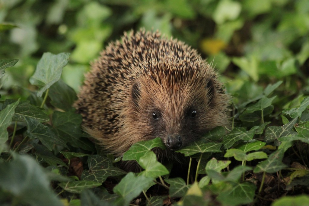 Picture courtesy of The British Hedgehog Preservation Society
